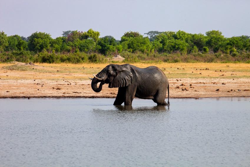 male African elephant drinking in a waterhole Hwange National Park, Zimbabwe