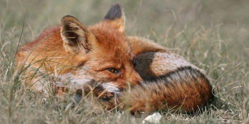 Victoire ! L'arrêté de la préfète de la Somme permettant les tirs de nuit de 1600 renards est suspendu !