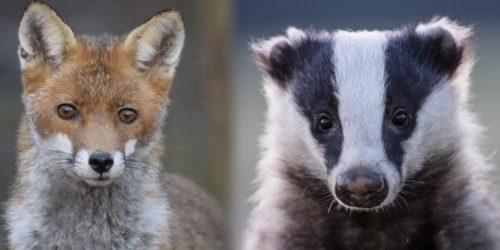 Des avancées pour le blaireau et le renard