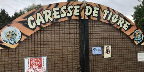 Caresse de tigre, le Tiger King à la française. Au coeur du business des faux sanctuaires pour animaux sauvages.